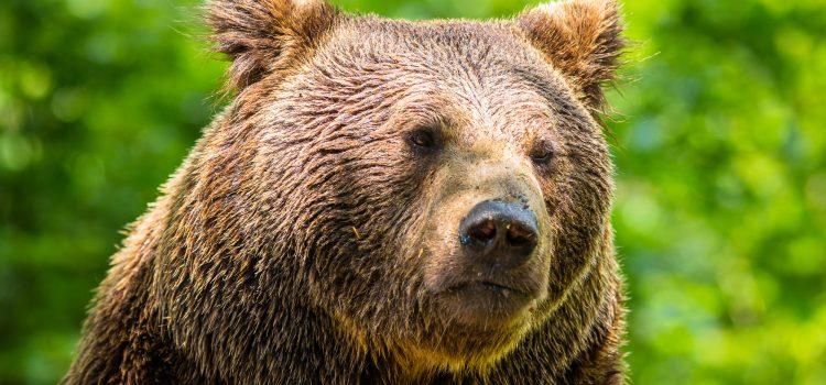 Bärenfamilie im Nationalpark Bayerischer Wald